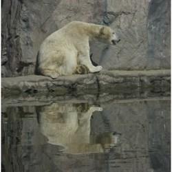 ijsbeer omkeerbaar