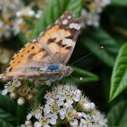 Distel vlinder