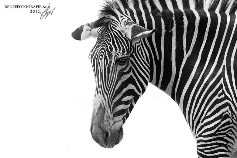 depressed zebra - een zebra in Wichita Zoo