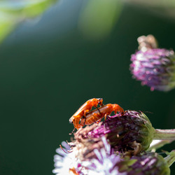 2 rode insecten