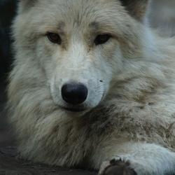 witte wolf -3