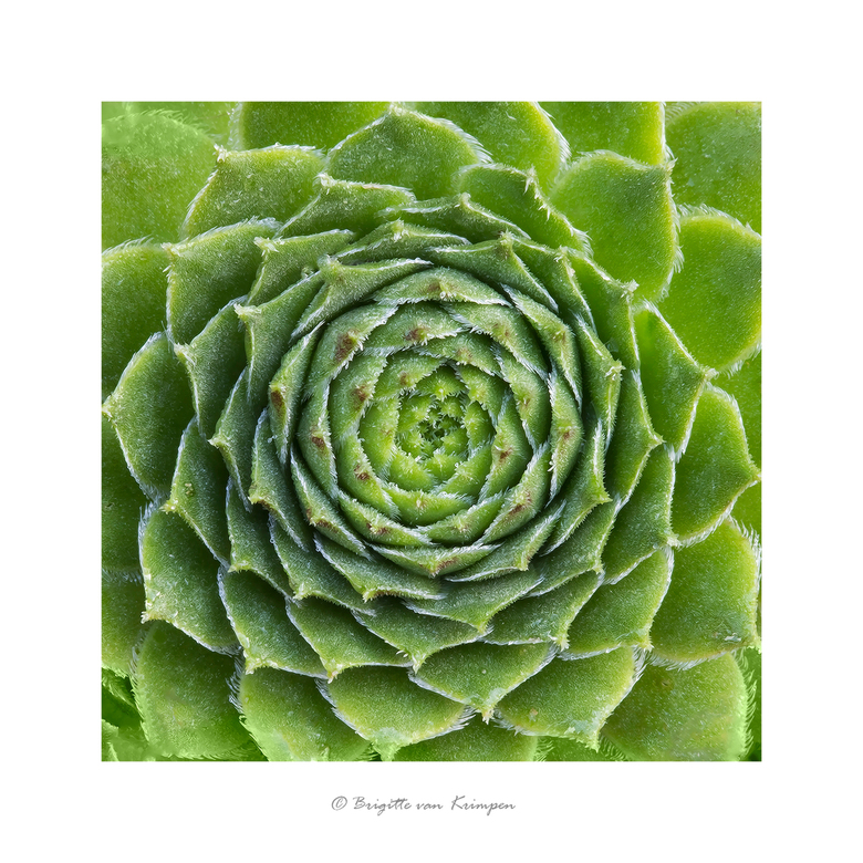 """Succulent I - Eerste opname in mijn nieuwe serie """"Succulents"""""""