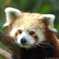 kleine rode panda beer.