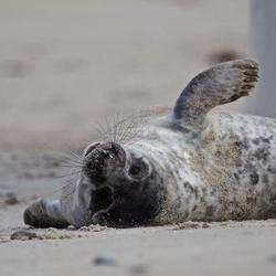 zeehondenbaby