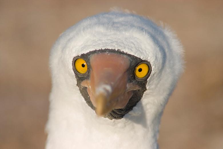 """Jan van Gent - Deze Jan van Gent of """"masked boobie"""" bleef mij maar aankijken op het eiland Genovesa (Galapagos)"""
