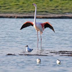 Flamingo op Texel.