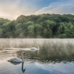 Zonsopkomst, mist en zwanen