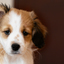 Puppy Joep, een Kooiker van 9 weken