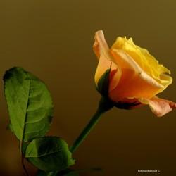 gele roos - 2