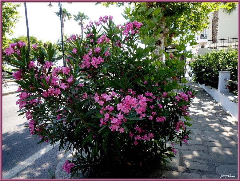 Greece Oleander - Foto genomen op kos island greece !