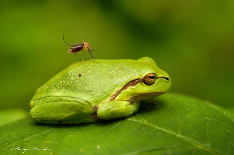 Mug steekt boomkikker - Hoe een mug een kikker vangt...
