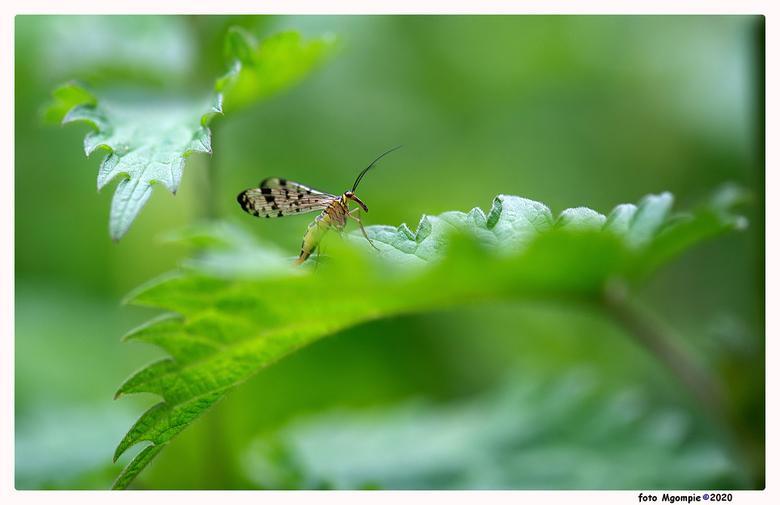 """schorpioenvlieg - Gewoon weer eens een macro van afgelopen zomer; de schorpioenvlieg.<br /> <br /> <a href=""""https://zoom.nl/foto/landschap/powershot"""