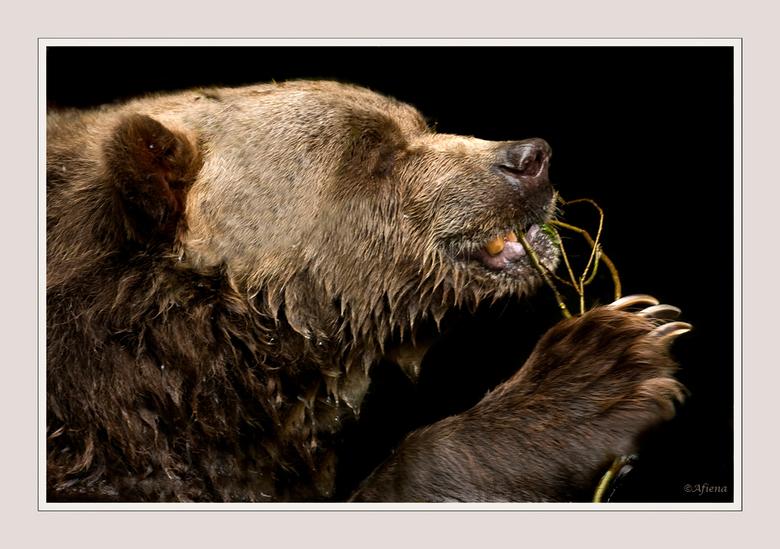 flossende beer - Deze beer in het Noorderdierenpark leek  zijn tanden te willen flossen met die dunne takjes! Gezien de kleur van zijn gebit ook zeker
