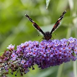 Vlinder aan de lunch-2
