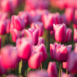 Groepje tulpen