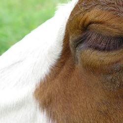 Koeien oog