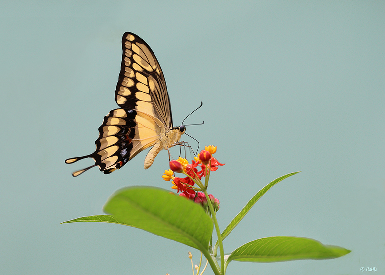 Koningspage - Koningspage - Papilio Thoas - King Swallowtail