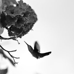 Bonaire - Kolibrie