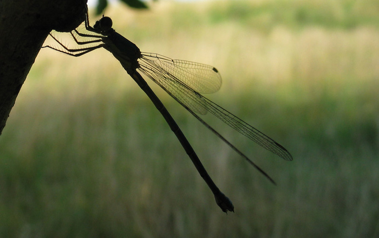 Hangjeugd - Silhouet van een libelle aan een tak. Uit de hand genomen met mijn oude Canon G3