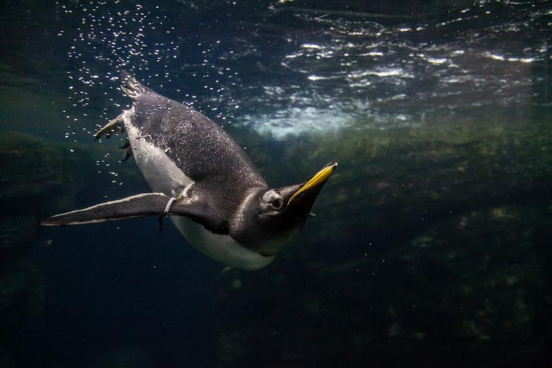 De poserende pinguïn - De poserende pinguïn in Blijdorp