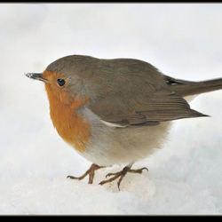 Het roodborstje, met sneeuw op zijn snaveltje, in de sneeuw.