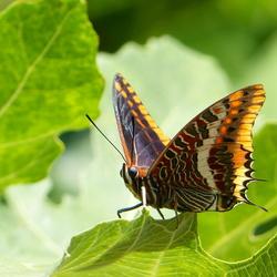 Pasja of Jasiusvlinder