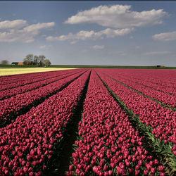 tulpen in Noord Groningen