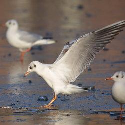 Vogeltjesdans op ijs.