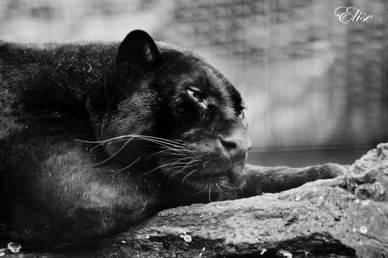"""bagheera  - olmse zoo <br /> <br /> na een hoop bezoekjes aan de olmse zoo dan toch een foto kunnen maken van dit pracht beest <img  src=""""/images/sm"""