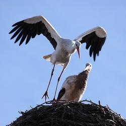 Blijf jij even op het nest, ga ik eten halen in de polder