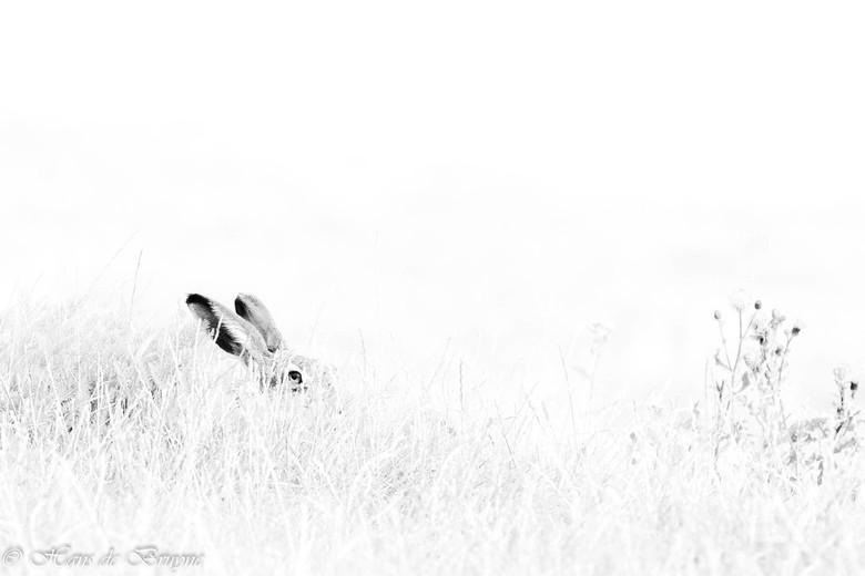 Haas - Verborgen in het gras, maar zo nu en dan even glurend. Hollandse natuur in optima forma.