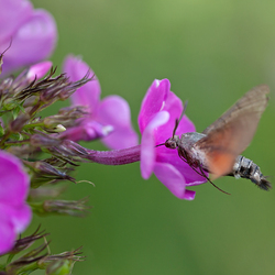 Vliegend mijn nectar pakken