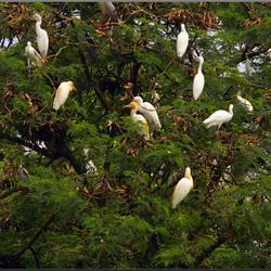 Een boom vol witte reigers.