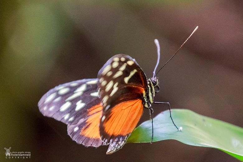 Heliconius hecale - De Heliconius hecale gefotografeerd in &quot;Vlinders aan de Vliet&quot; in Leidschendam.<br /> <br /> Heliconius hecale is een