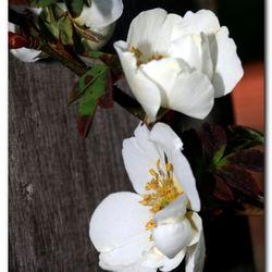 Eerste rozenbloemen