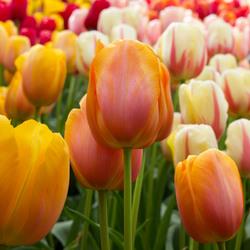 Bokehlicious Tulips
