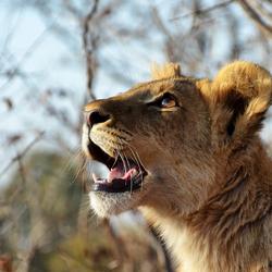 Trust, the Lion Cub