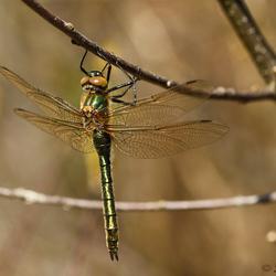 Smaragdlibel 2