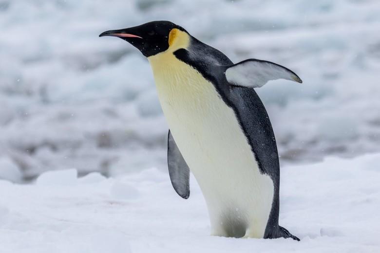 Emperor / Keizer pinguin
