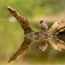Goudvink vrouw met reflectie
