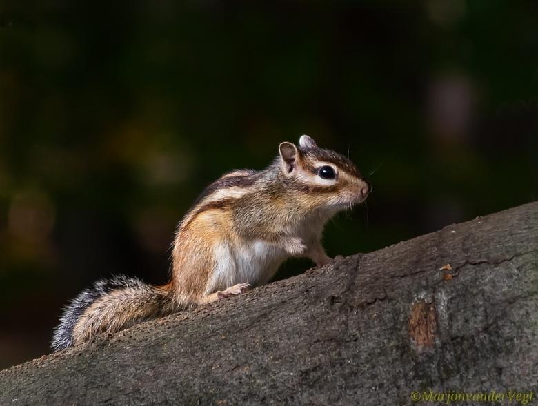 Siberische eekhoorn - De Siberische grondeekhoorn, boeroendoek, Koreaanse grondeekhoorn of Aziatische gestreepte grondeekhoorn (Tamias sibiricus) is e