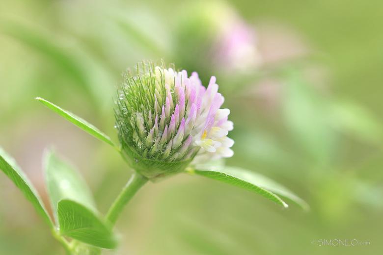 Gewoon ....... bijzonder - In het grasveld in onze tuin, inmiddels meer een bloemenweide, staat ook deze klaversoort, bastaardklaver (Trifolium hybrid