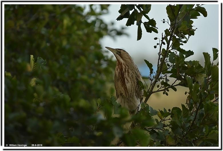 roerdomp  - Foto gemaakt op 28-09. Dit was in Lettelbert vanuit een kijkhut. Roerdomp zat in een boom. Dit is de complete foto expres niets aangedaan