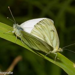 Vlinderparing