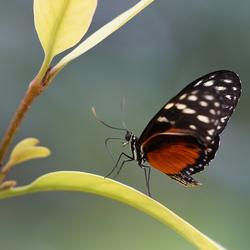 Tijger-passiebloemvlinder