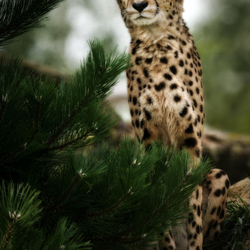 Cheetah Pretty