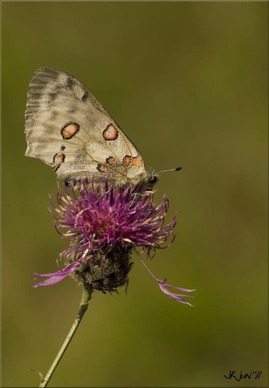 Apollo Schmetterling - Nog eentje van de Apollovlinder uit Duitsland, <br /> <br /> Iedereen bedankt voor de reacties.<br /> Gr Jan<br /> <br />