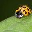 Veertien stippelig lieveheersbeestje