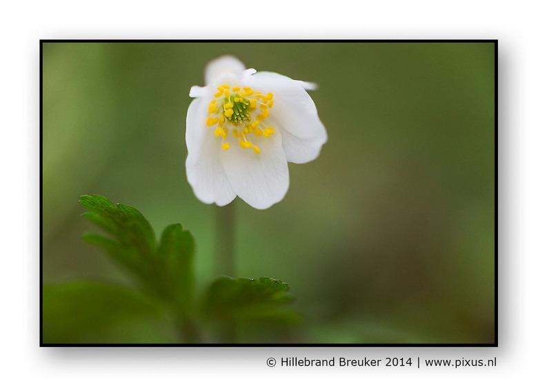 bosanemoon - De tijd van de vroegbloeiers is weer aangebroken. Bosanemonen horen wel tot mijn favoriete lente bloemetjes. Prachtig, eenvoudig en sierl