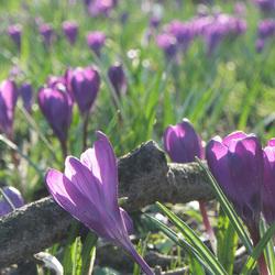 Krokussen in de voorjaarszon